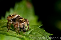 Jumping-Spider-Eating-Prey
