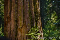 Old-and-young-Sequoia-Grove-Yosemite-California