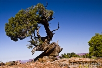 Old-juniper-Canyonlands-Utah
