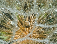 Water_droplets_in_a_Salsify_flower_seed_head