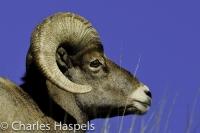 Bighorn_Sheep-0-Grant1-Colorado