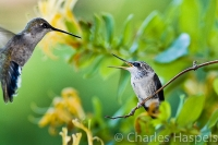 Black-chinned-Hummingbird-mother-chick