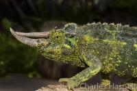 Chameleon-Kenya