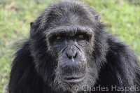 _Chimp-Reserve-Kenya