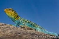 Collared-Lizard,-SE-Utah