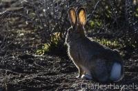 Cottontail-Rabbit-Colorado