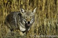 Coyote-0-Mesa_Verde1-Colorado