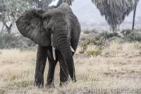 Elephant-Samburu-Kenya