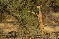 Gerenuk-Samburu-Kenya