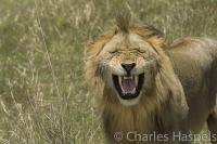 Lion-Masai-Mara-Kenya