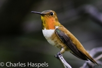 Rufous_Hummingbird-0-Cortez1-Colorado