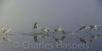 Sandhill_Cranes_in_Fog-0-Bosque_del_Apache1-New_Mexico