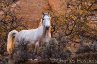wildhorse-feralhorse-wild-horse-feral