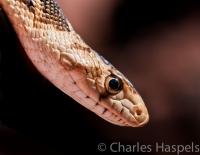 Bull-Snake-Tsegi-Arizona-AZ