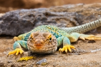 Collared-Lizard-NW-New-Mexico-SW