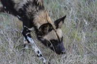 Wild-dog-Sweetwater-Reserve-Kenya
