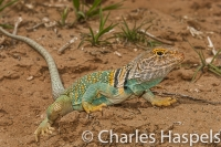 lizard-CollaredLizard-Collared-Reptile