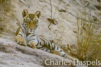 tigercub, tiger, cub, India,