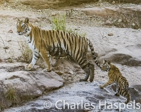 tigers-tigress-tigercub-tiger-India